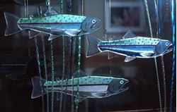 Dichroic Rainbow Trout